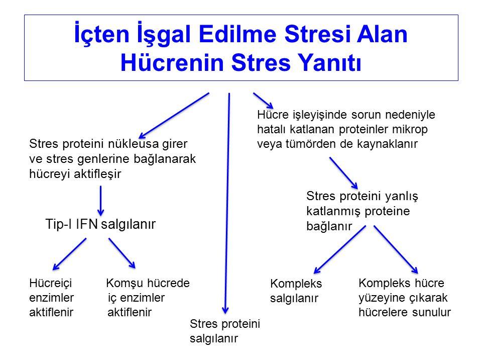 Hücre işleyişinde sorun nedeniyle hatalı katlanan proteinler mikrop veya tümörden de kaynaklanır Stres proteini nükleusa girer ve stres genlerine bağl