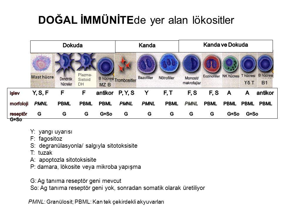 Y: yangı uyarısı F: fagositoz S: degranülasyonla/ salgıyla sitotoksisite T: tuzak A: apoptozla sitotoksisite P: damara, lökosite veya mikroba yapışma G: Ag tanıma reseptör geni mevcut So: Ag tanıma reseptör geni yok, sonradan somatik olarak üretiliyor PMNL: Granülosit; PBML: Kan tek çekirdekli akyuvarları B1 ϒ δ T Mast hücre MZ B Plazma- Sistoid DH DOĞAL İMMÜNİTEde yer alan lökositler