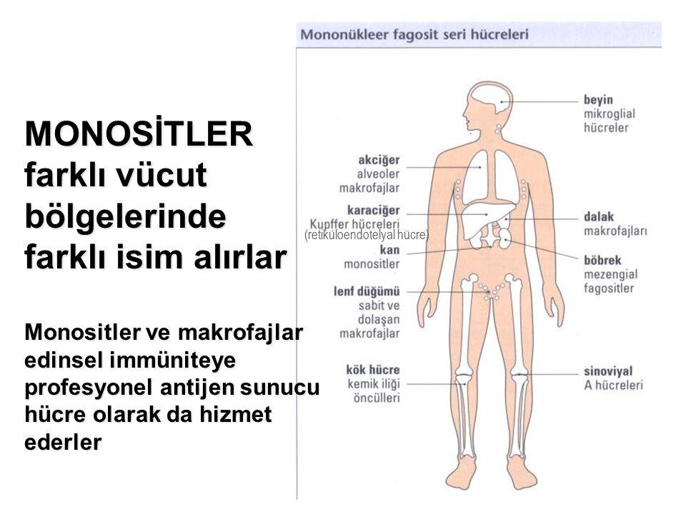 MONOSİTLER farklı vücut bölgelerinde farklı isim alırlar Monositler ve makrofajlar edinsel immüniteye profesyonel antijen sunucu hücre olarak da hizmet ederler (retiküloendotelyal hücre)