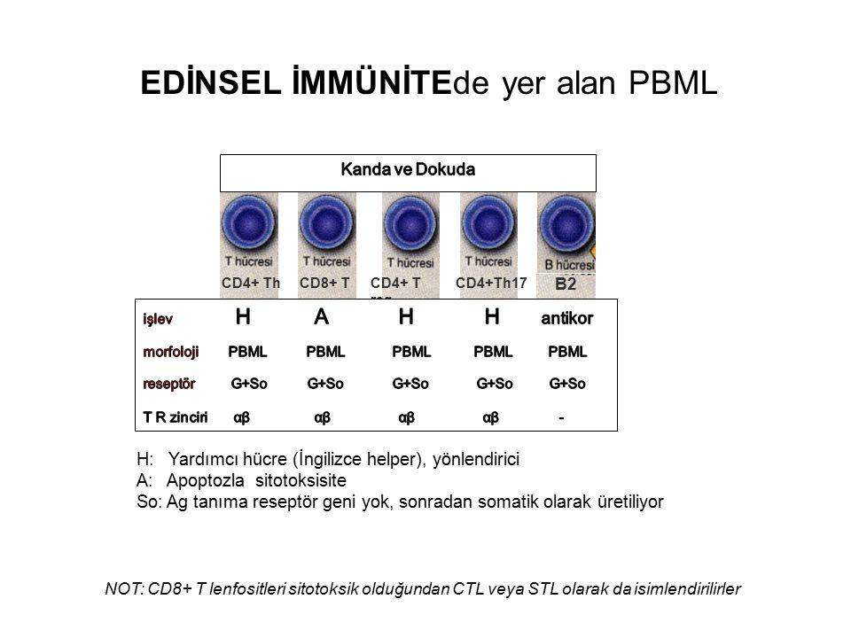 H: Yardımcı hücre (İngilizce helper), yönlendirici A: Apoptozla sitotoksisite So: Ag tanıma reseptör geni yok, sonradan somatik olarak üretiliyor NOT: CD8+ T lenfositleri sitotoksik olduğundan CTL veya STL olarak da isimlendirilirler CD4+ T reg B2 EDİNSEL İMMÜNİTEde yer alan PBML CD4+ ThCD8+ TCD4+Th17