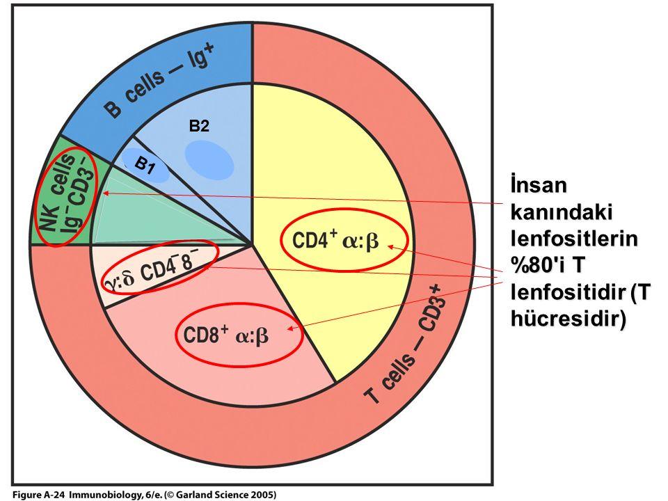 İnsan kanındaki lenfositlerin %80 i T lenfositidir (T hücresidir) B1 B2