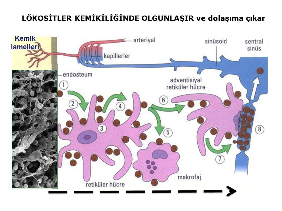 Kemiklamelleri LÖKOSİTLER KEMİKİLİĞİNDE OLGUNLAŞIR ve dolaşıma çıkar