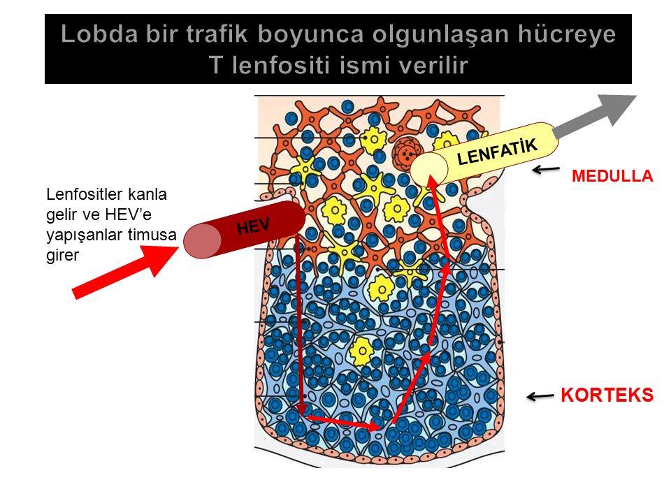 LENFATİK KORTEKS MEDULLA HEV Lenfositler kanla gelir ve HEV'e yapışanlar timusa girer