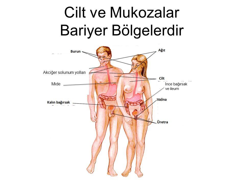 Cilt ve Mukozalar Bariyer Bölgelerdir Mide İnce bağırsak ve ileum Akciğer solunum yolları