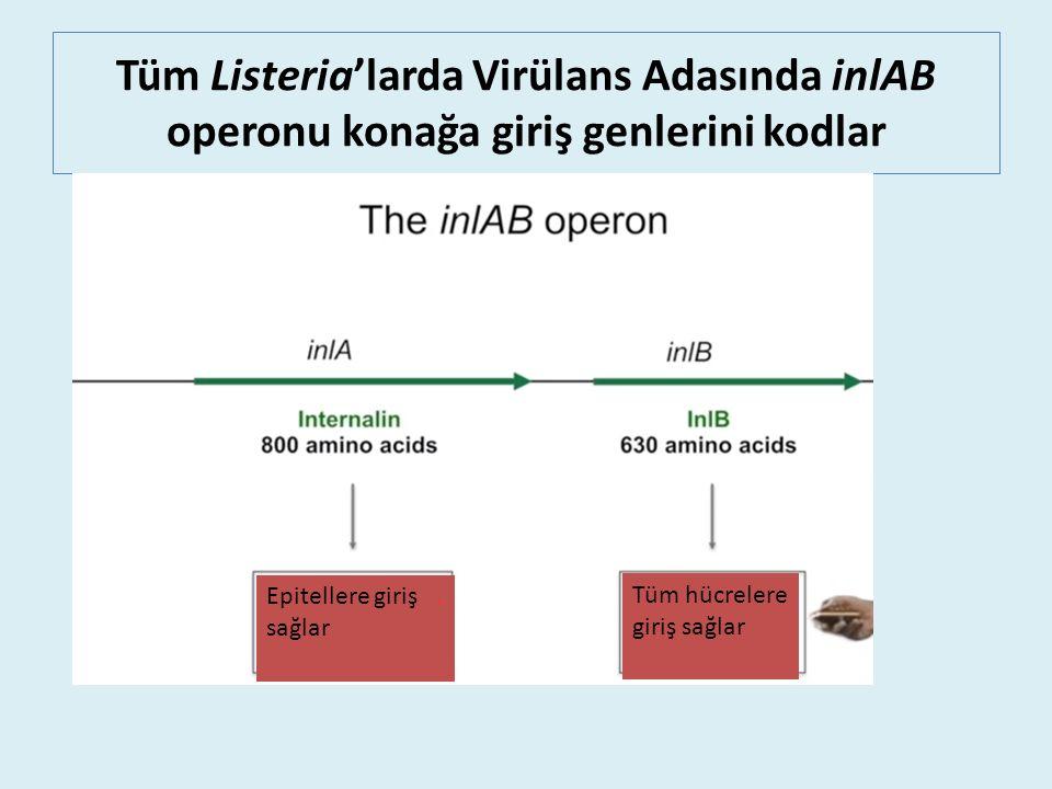 Tüm Listeria'larda Virülans Adasında inlAB operonu konağa giriş genlerini kodlar Epitellere giriş.