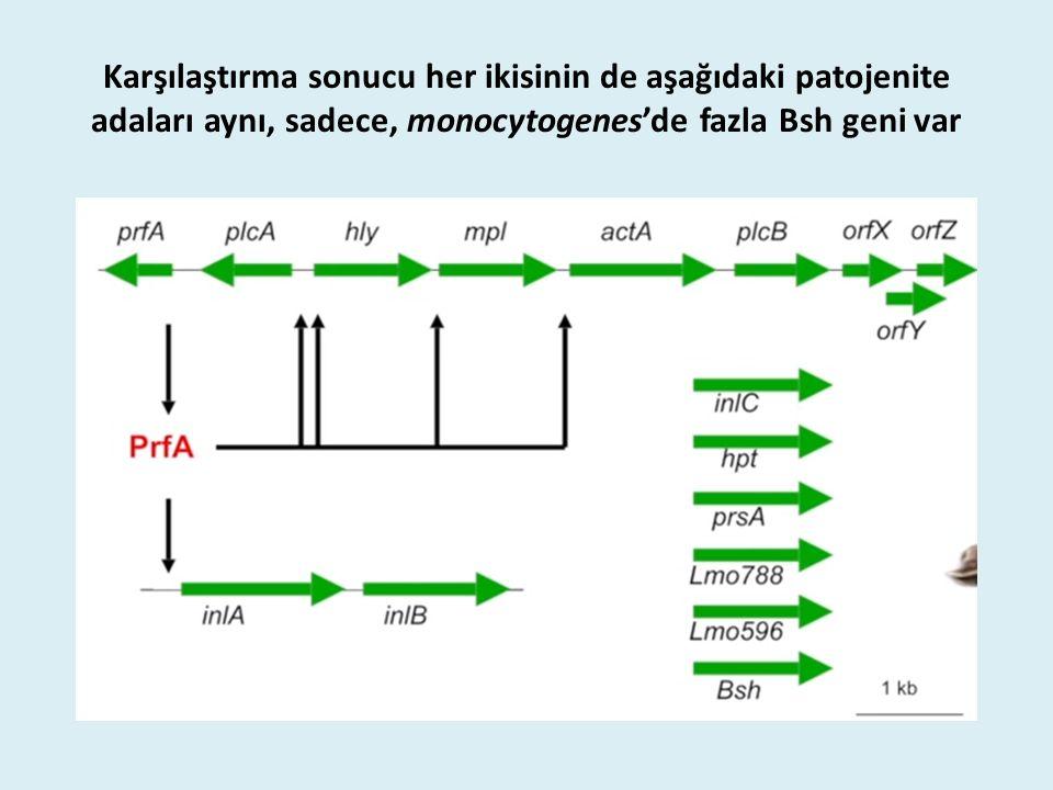Karşılaştırma sonucu her ikisinin de aşağıdaki patojenite adaları aynı, sadece, monocytogenes'de fazla Bsh geni var
