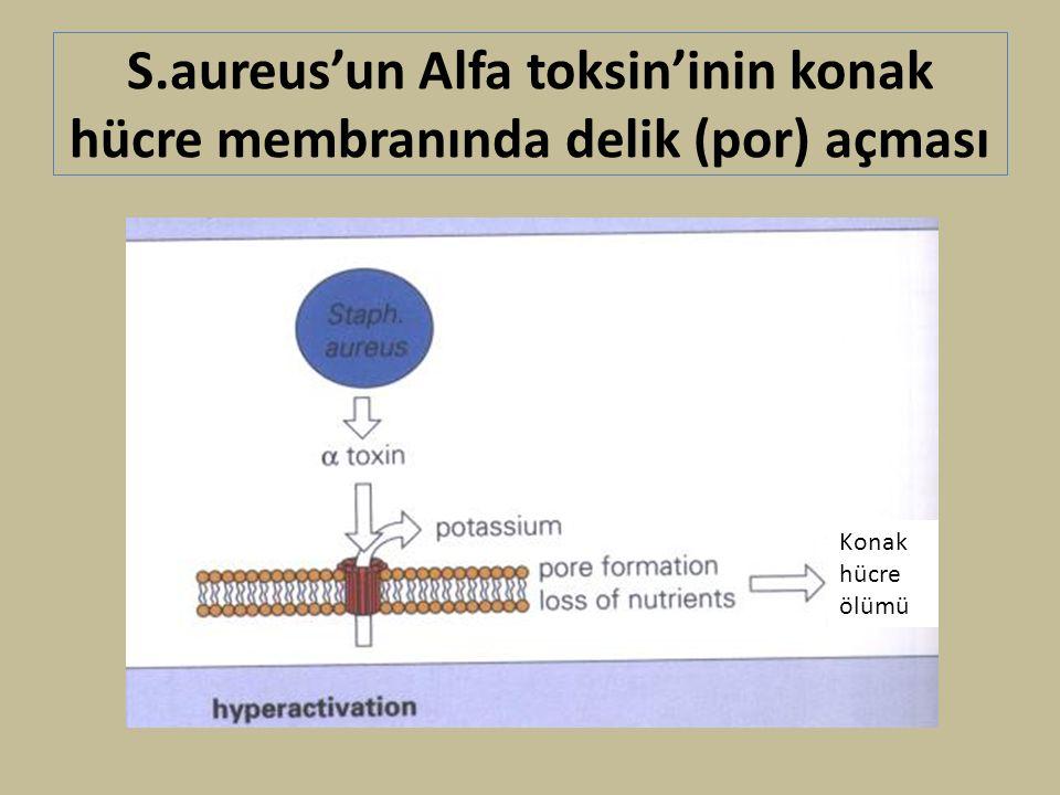 S.aureus'un Alfa toksin'inin konak hücre membranında delik (por) açması Konak hücre ölümü