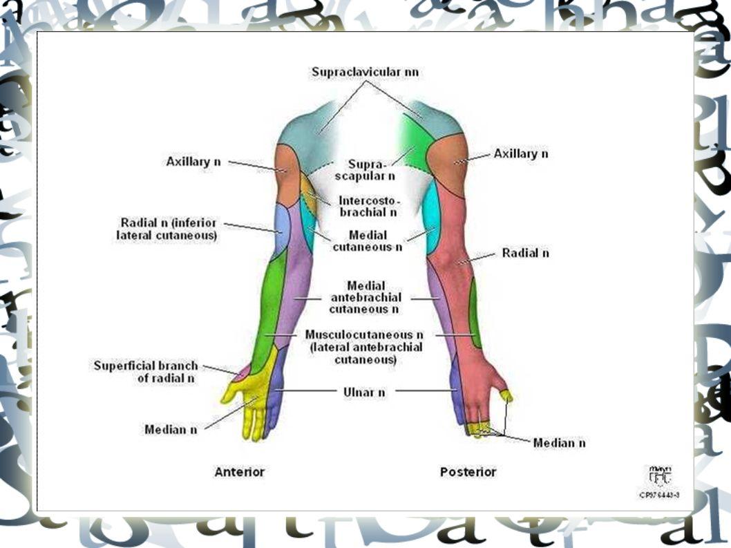RİSK FAKTÖRLERİ  Ağrı tipi: Hareketle artan, istirahatle ve düz yatmayla geçen künt, sancı şeklindeki ağrı tipik benign özelliktir analjeziğe yanıt vermez Tümör ve enfeksiyon ağrısı gece uykudan uyandırır, istirahat ve uygun analjeziğe yanıt vermez Oturma ve Valsalva ile artan-> disk hernisi Spinal stenoz: uzun yürüme, ayakta durma ve ekstansiyon ile artar; öne eğilme ile azalır