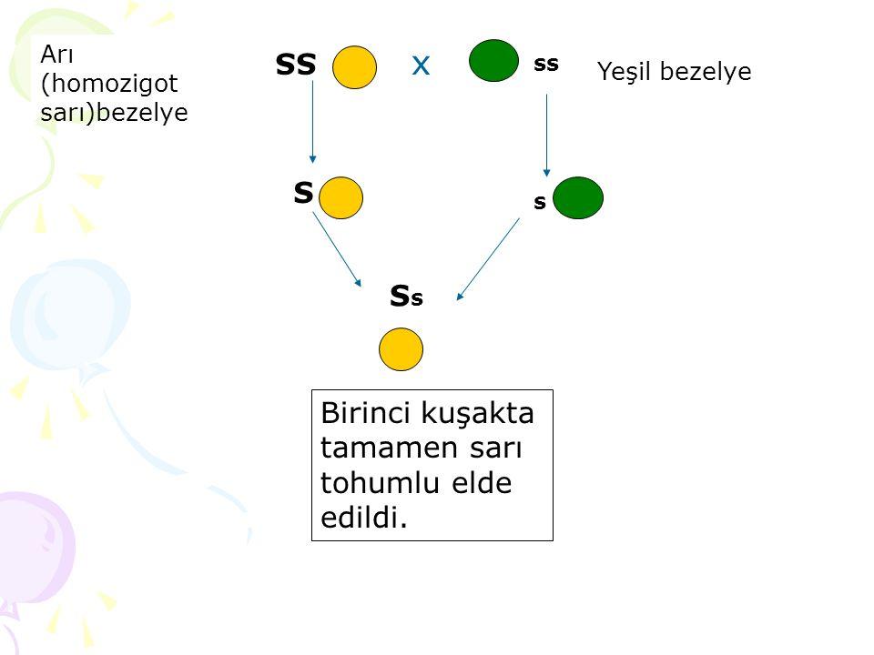 x Birinci kuşakta tamamen sarı tohumlu elde edildi. SS ss S s SsSs Arı (homozigot sarı)bezelye Yeşil bezelye