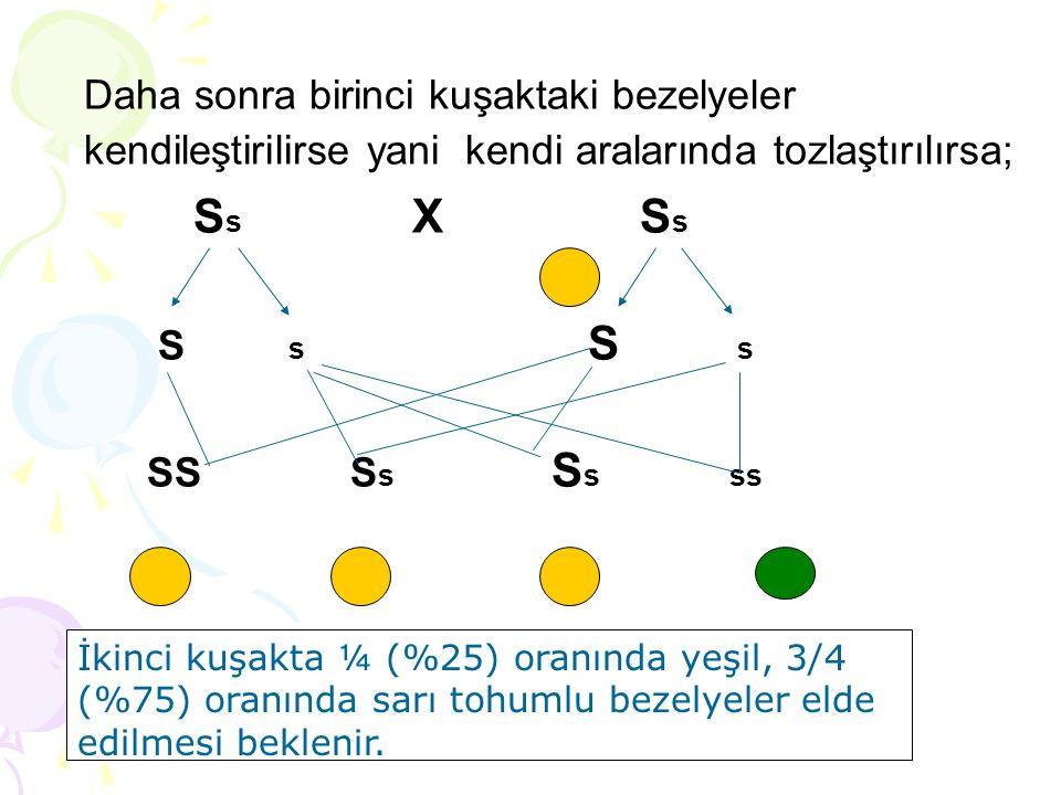 Daha sonra birinci kuşaktaki bezelyeler kendileştirilirse yani kendi aralarında tozlaştırılırsa; S s X S s S s S s SS S s S s ss İkinci kuşakta ¼ (%25
