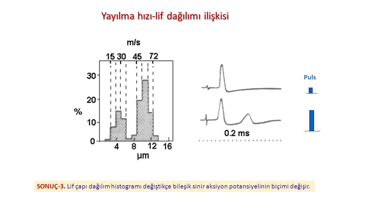 Yayılma hızı-lif dağılımı ilişkisi Puls SONUÇ-3. Lif çapı dağılım histogramı değiştikçe bileşik sinir aksiyon potansiyelinin biçimi değişir.