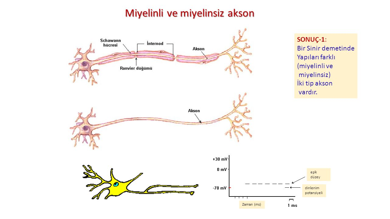 Miyelinli ve miyelinsiz akson SONUÇ-1: Bir Sinir demetinde Yapıları farklı (miyelinli ve miyelinsiz) İki tip akson vardır. eşik düzey dinlenim potansi