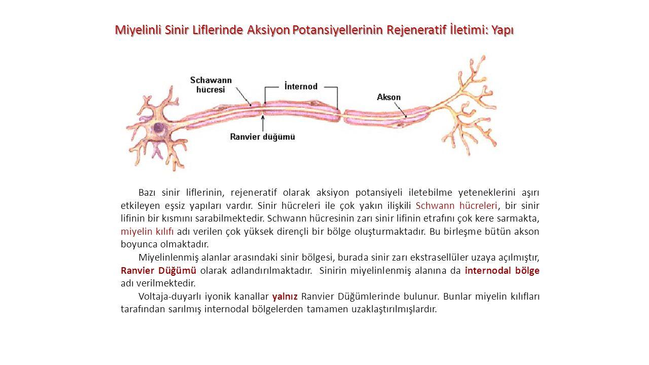Miyelinli Sinir Liflerinde Aksiyon Potansiyellerinin Rejeneratif İletimi: Yapı Bazı sinir liflerinin, rejeneratif olarak aksiyon potansiyeli iletebilm