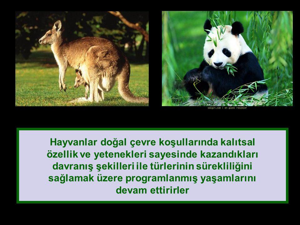 Hayvanlar doğal çevre koşullarında kalıtsal özellik ve yetenekleri sayesinde kazandıkları davranış şekilleri ile türlerinin sürekliliğini sağlamak üzere programlanmış yaşamlarını devam ettirirler