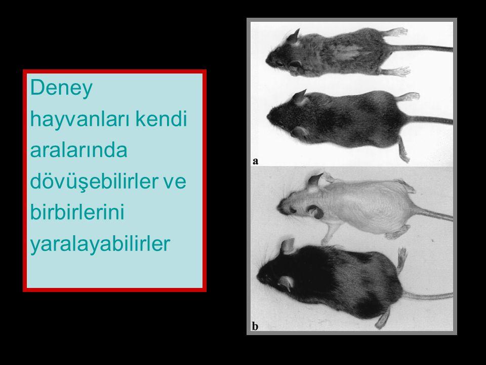 Deney hayvanları kendi aralarında dövüşebilirler ve birbirlerini yaralayabilirler