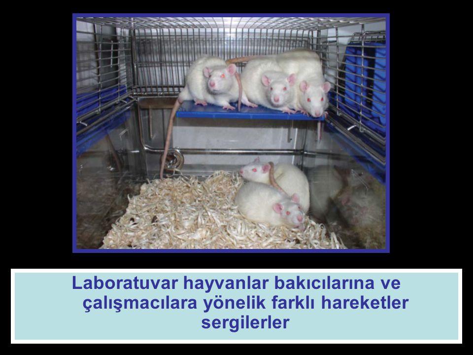 Laboratuvar hayvanlar bakıcılarına ve çalışmacılara yönelik farklı hareketler sergilerler