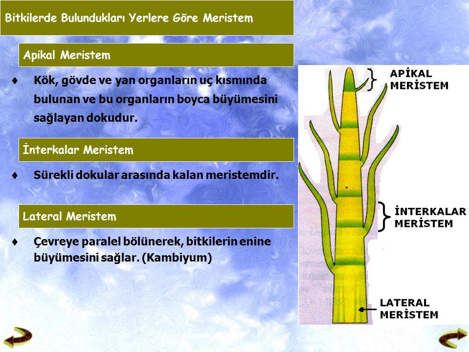 Bitkilerde Bulundukları Yerlere Göre Meristem Apikal Meristem  Kök, gövde ve yan organların uç kısmında bulunan ve bu organların boyca büyümesini sağlayan dokudur.