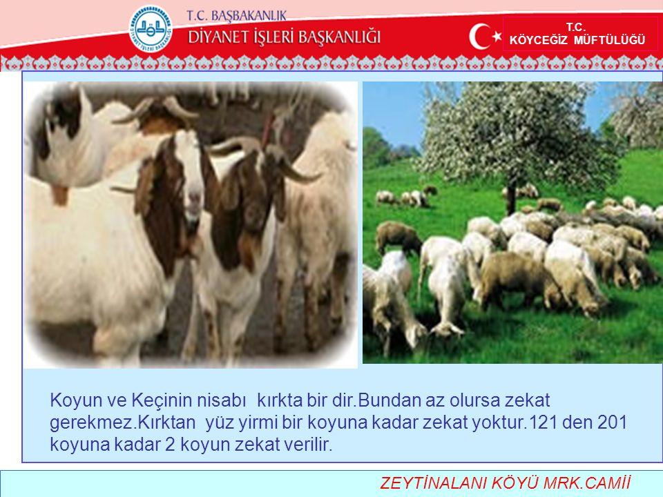 T.C. KÖYCEĞİZ MÜFTÜLÜĞÜ Koyun ve Keçinin nisabı kırkta bir dir.Bundan az olursa zekat gerekmez.Kırktan yüz yirmi bir koyuna kadar zekat yoktur.121 den