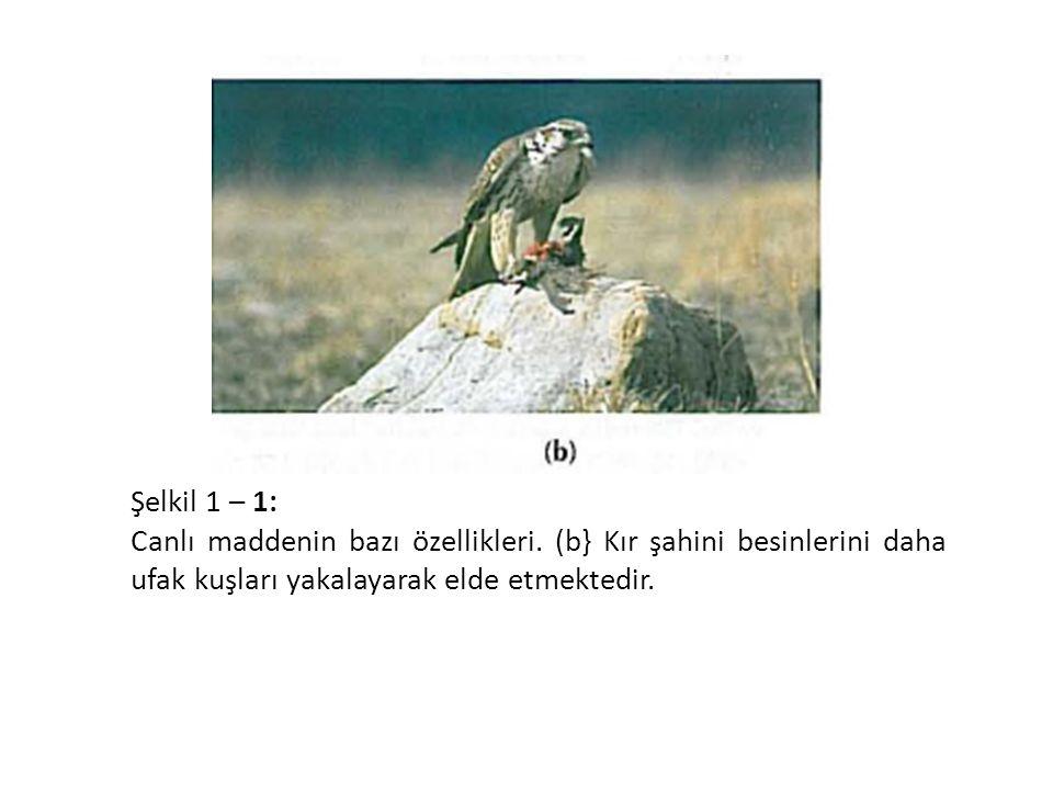 Şelkil 1 – 1: Canlı maddenin bazı özellikleri. (b} Kır şahini besinlerini daha ufak kuşları yakalayarak elde etmektedir.