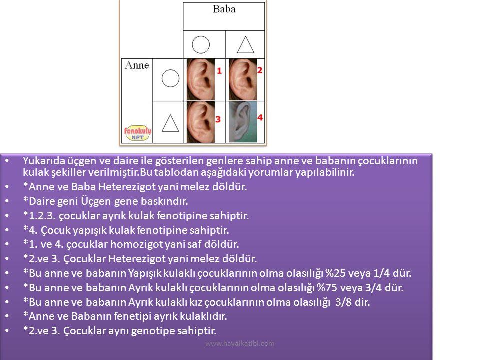 Yukarıda üçgen ve daire ile gösterilen genlere sahip anne ve babanın çocuklarının kulak şekiller verilmiştir.Bu tablodan aşağıdaki yorumlar yapılabilinir.