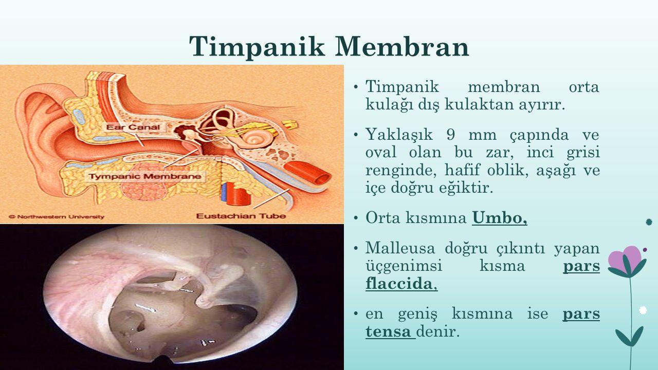Timpanik Membran Timpanik membran orta kulağı dış kulaktan ayırır.