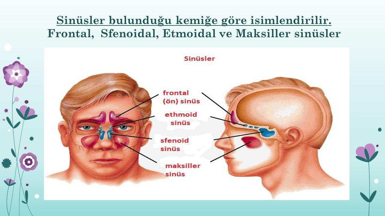 Sinüsler bulunduğu kemiğe göre isimlendirilir. Frontal, Sfenoidal, Etmoidal ve Maksiller sinüsler