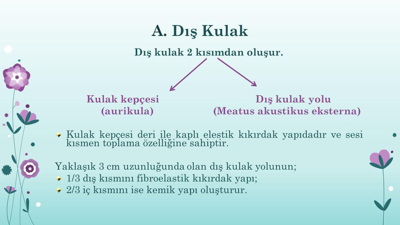 A.Dış Kulak Dış kulak 2 kısımdan oluşur.