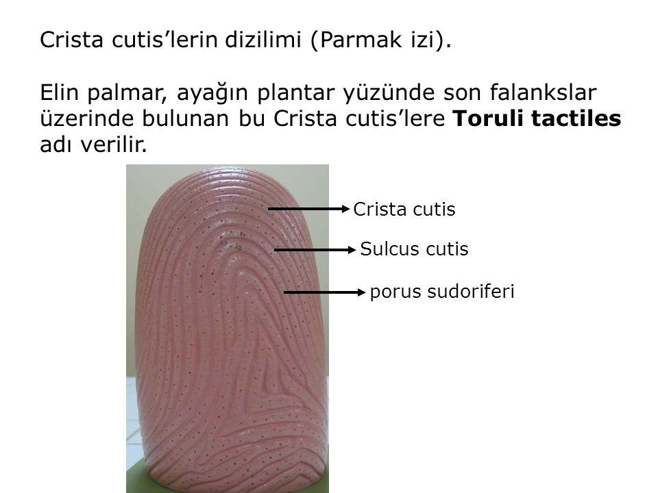 Crista cutis'lerin dizilimi (Parmak izi). Elin palmar, ayağın plantar yüzünde son falankslar üzerinde bulunan bu Crista cutis'lere Toruli tactiles adı