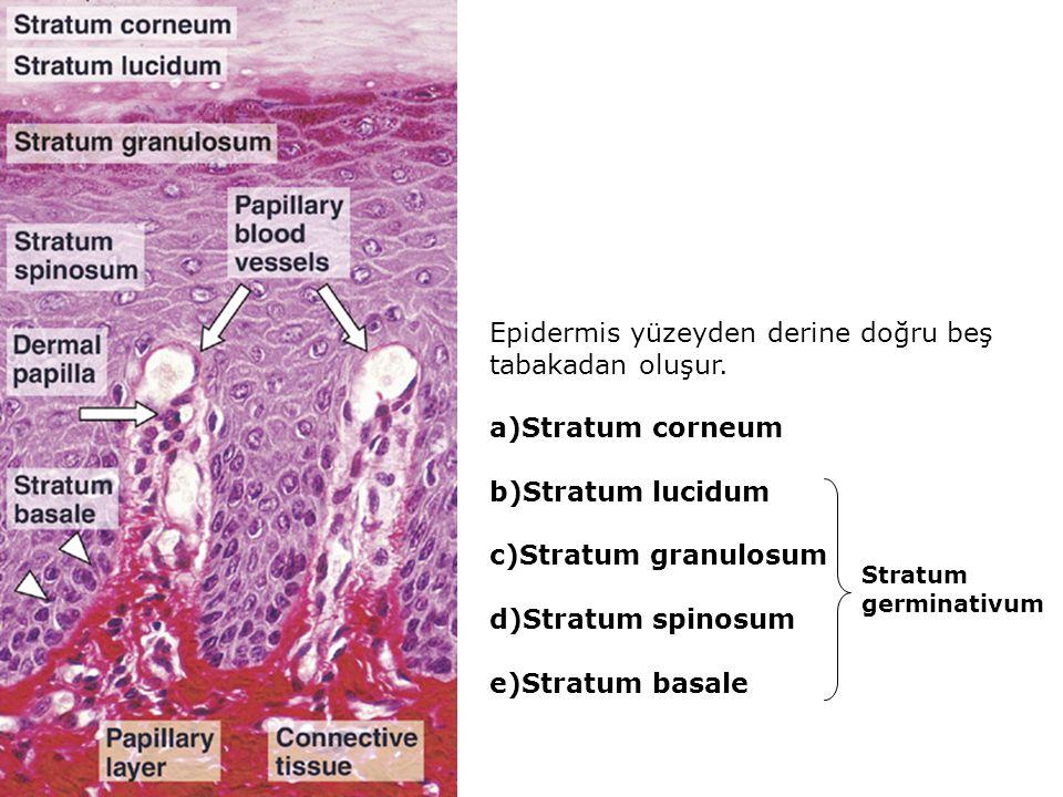 Epidermis yüzeyden derine doğru beş tabakadan oluşur. a)Stratum corneum b)Stratum lucidum c)Stratum granulosum d)Stratum spinosum e)Stratum basale Str