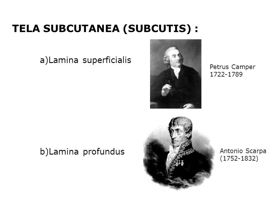 TELA SUBCUTANEA (SUBCUTIS) : a)Lamina superficialis b)Lamina profundus Antonio Scarpa (1752-1832) Petrus Camper 1722-1789