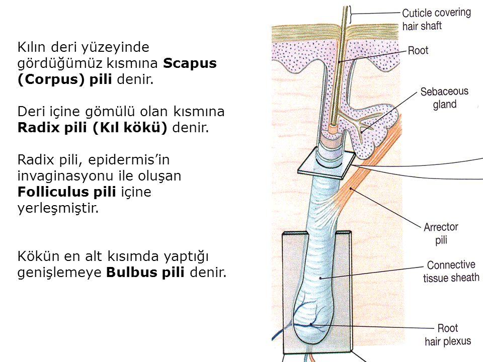 Kılın deri yüzeyinde gördüğümüz kısmına Scapus (Corpus) pili denir. Deri içine gömülü olan kısmına Radix pili (Kıl kökü) denir. Radix pili, epidermis'