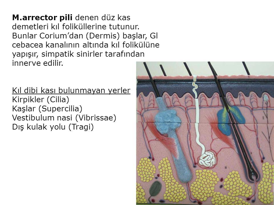 M.arrector pili denen düz kas demetleri kıl foliküllerine tutunur. Bunlar Corium'dan (Dermis) başlar, Gl cebacea kanalının altında kıl folikülüne yapı