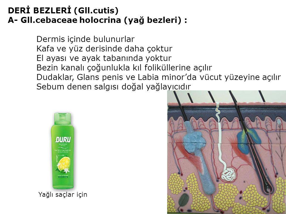 DERİ BEZLERİ (Gll.cutis) A- Gll.cebaceae holocrina (yağ bezleri) : Dermis içinde bulunurlar Kafa ve yüz derisinde daha çoktur El ayası ve ayak tabanında yoktur Bezin kanalı çoğunlukla kıl foliküllerine açılır Dudaklar, Glans penis ve Labia minor'da vücut yüzeyine açılır Sebum denen salgısı doğal yağlayıcıdır Yağlı saçlar için