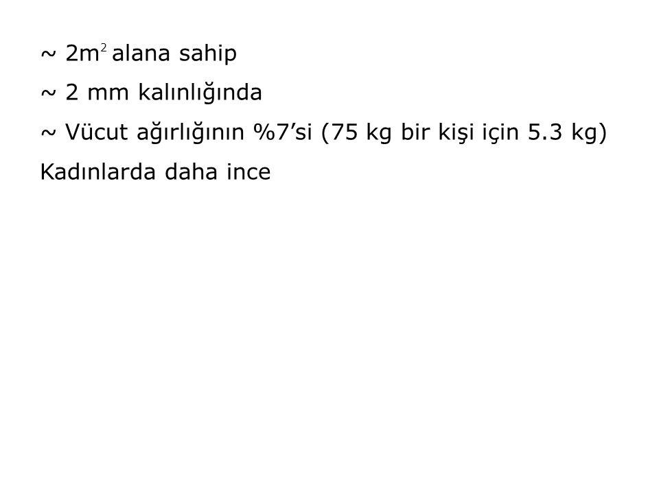~ 2m 2 alana sahip ~ 2 mm kalınlığında ~ Vücut ağırlığının %7'si (75 kg bir kişi için 5.3 kg) Kadınlarda daha ince