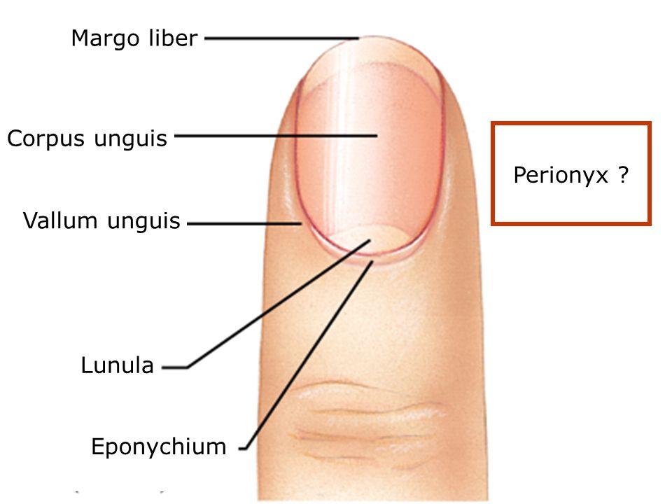 Margo liber Corpus unguis Vallum unguis Lunula Eponychium Perionyx ?