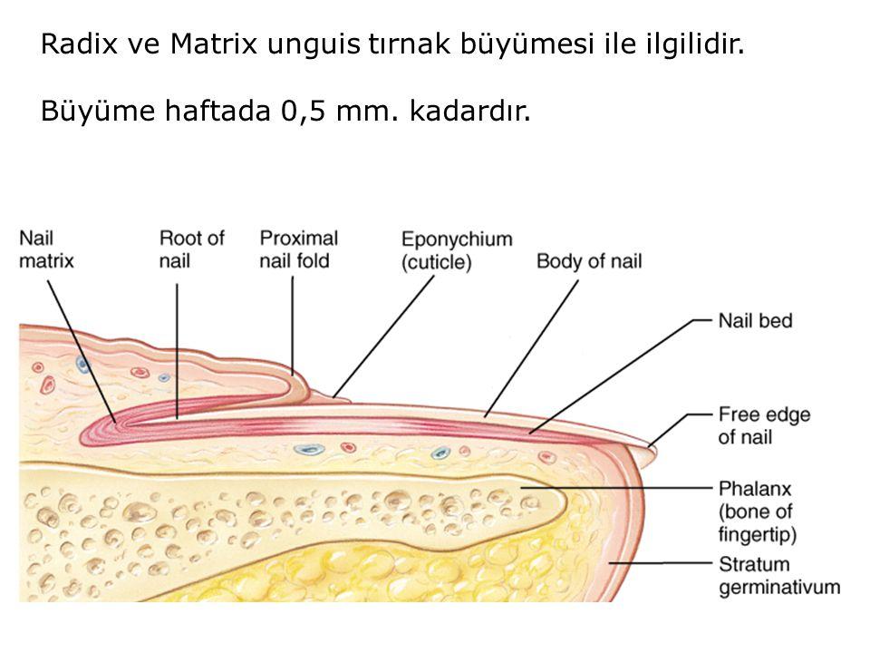 Radix ve Matrix unguis tırnak büyümesi ile ilgilidir. Büyüme haftada 0,5 mm. kadardır.