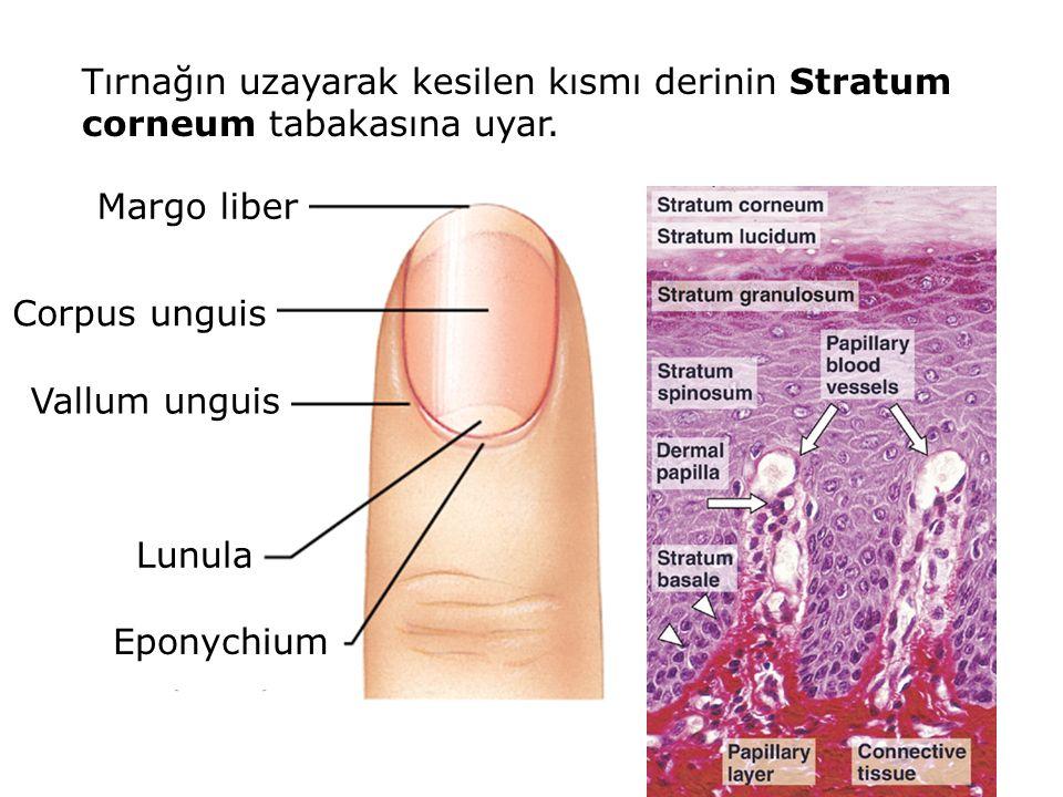 Tırnağın uzayarak kesilen kısmı derinin Stratum corneum tabakasına uyar. Margo liber Corpus unguis Vallum unguis Lunula Eponychium