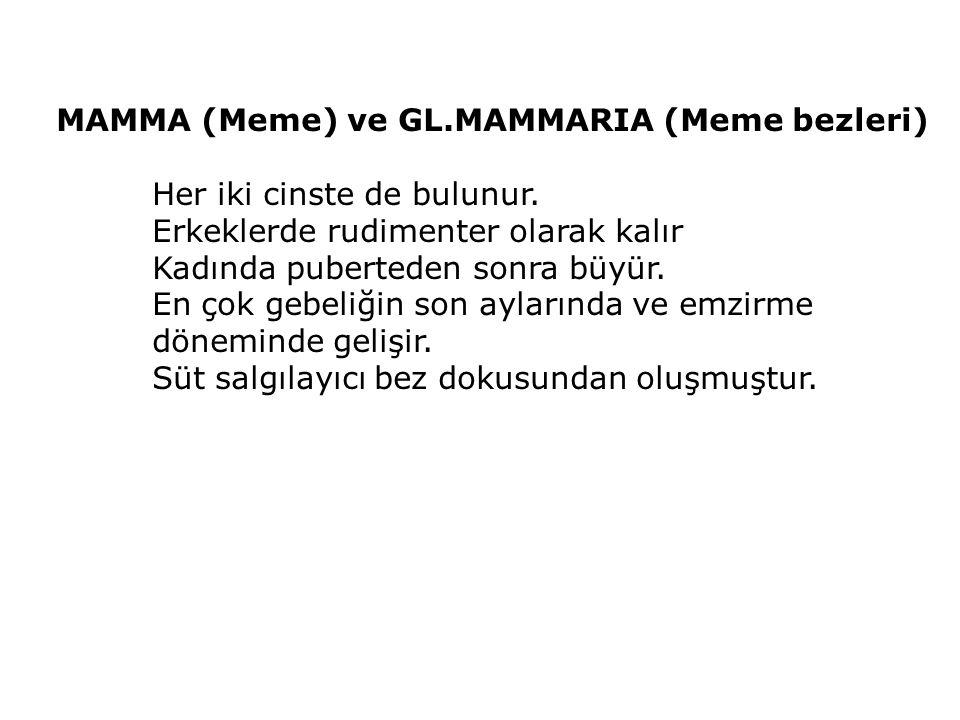 MAMMA (Meme) ve GL.MAMMARIA (Meme bezleri) Her iki cinste de bulunur. Erkeklerde rudimenter olarak kalır Kadında puberteden sonra büyür. En çok gebeli