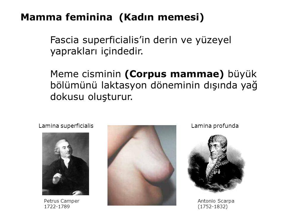 Mamma feminina (Kadın memesi) Fascia superficialis'in derin ve yüzeyel yaprakları içindedir. Meme cisminin (Corpus mammae) büyük bölümünü laktasyon dö