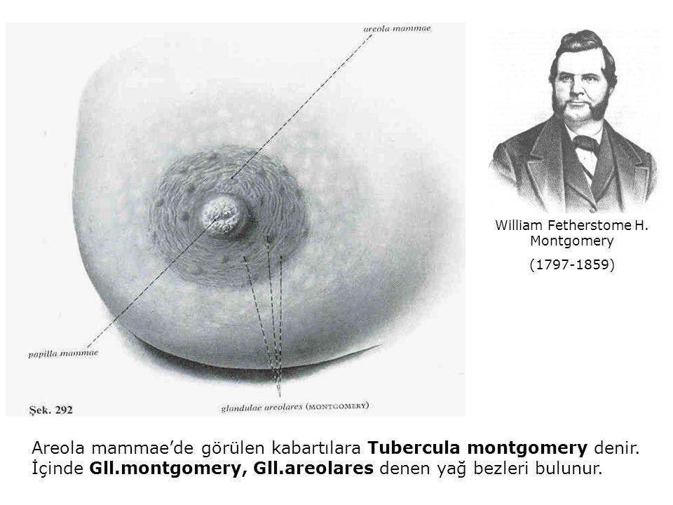 Areola mammae'de görülen kabartılara Tubercula montgomery denir. İçinde Gll.montgomery, Gll.areolares denen yağ bezleri bulunur. William Fetherstome H