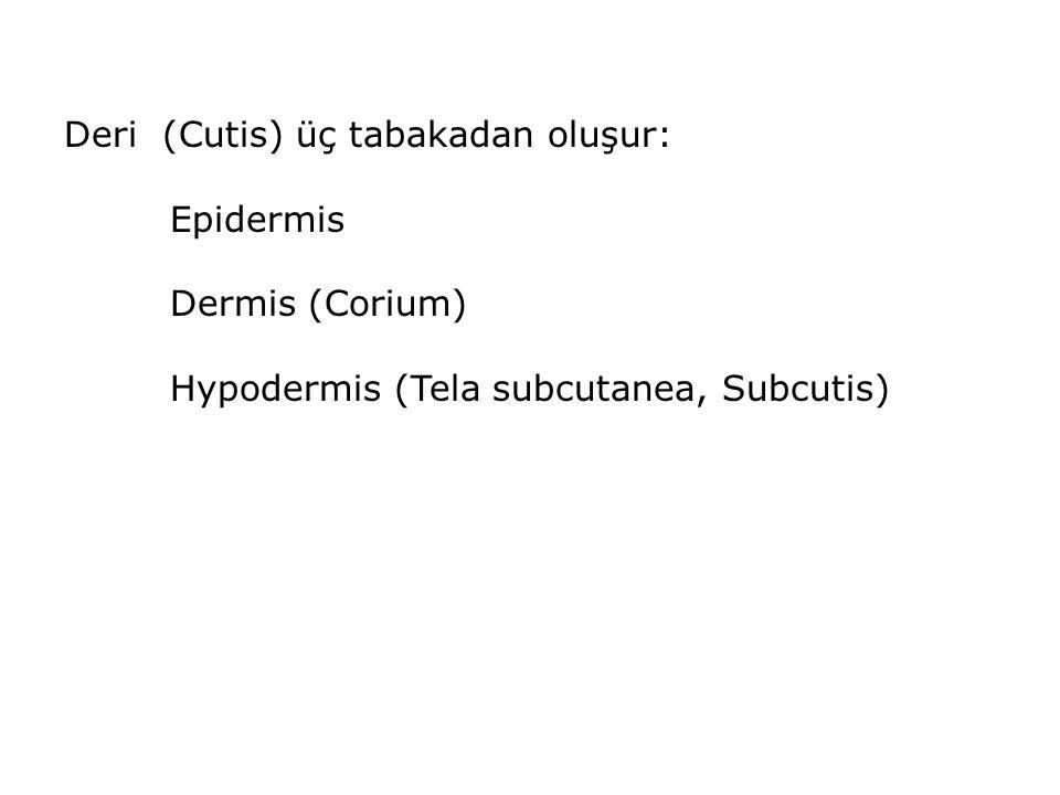 Deri (Cutis) üç tabakadan oluşur: Epidermis Dermis (Corium) Hypodermis (Tela subcutanea, Subcutis)