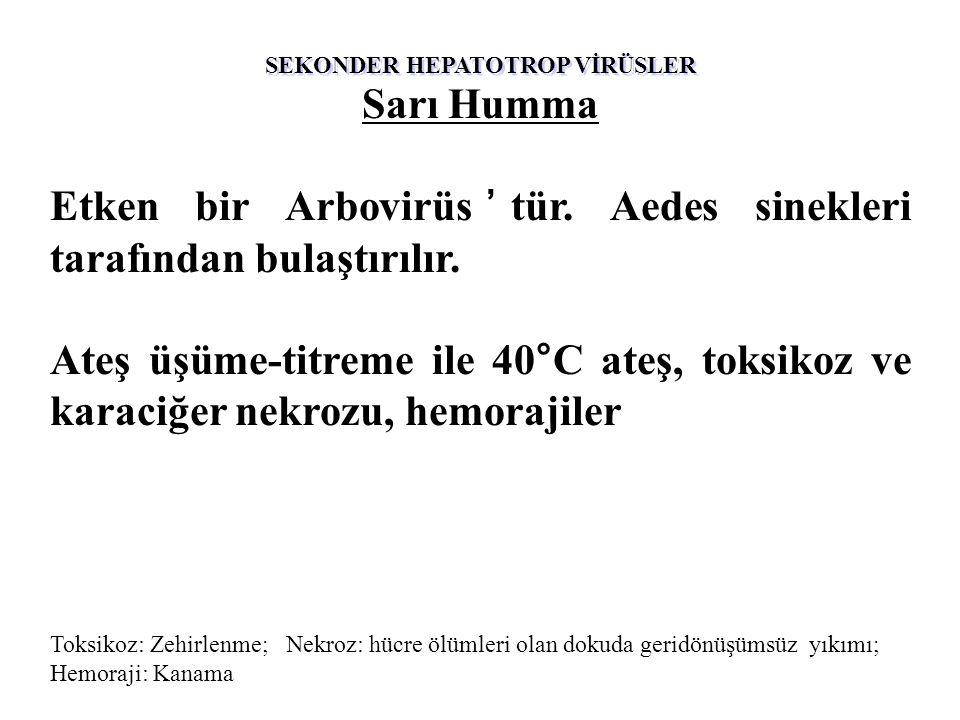 SEKONDER HEPATOTROP VİRÜSLER Sarı Humma Etken bir Arbovirüs'tür.