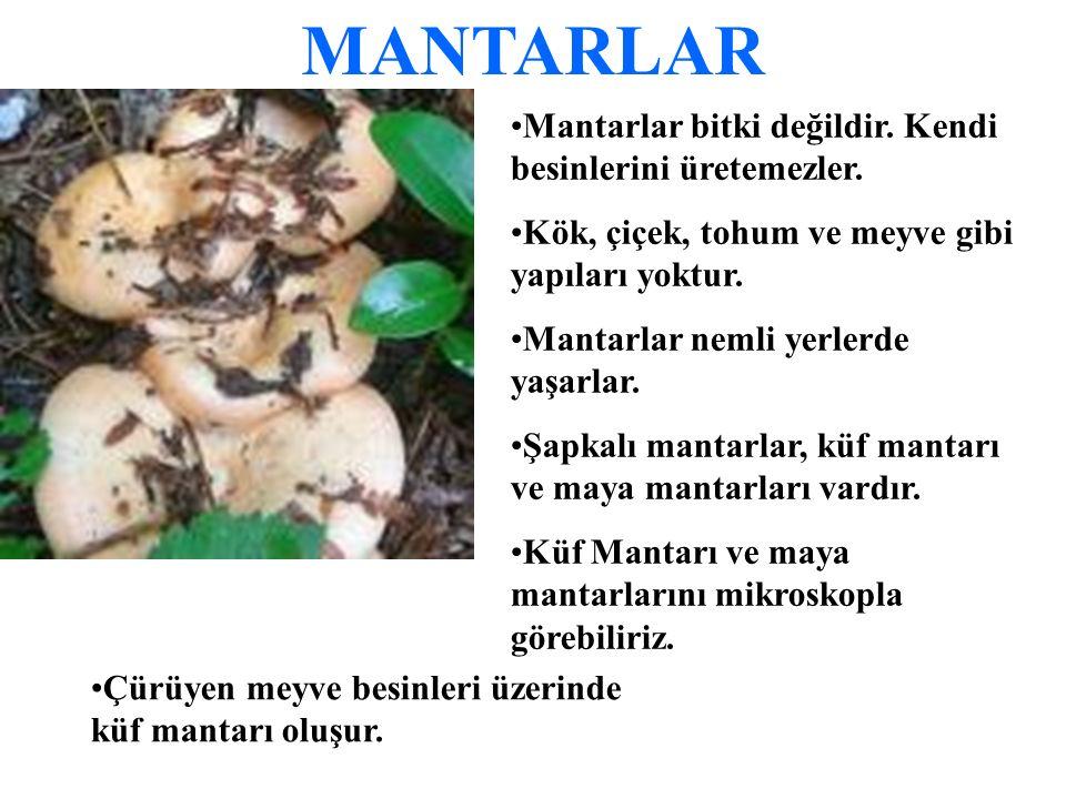 MANTARLAR Mantarlar bitki değildir. Kendi besinlerini üretemezler.
