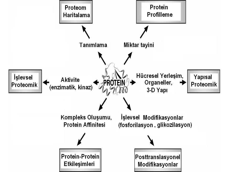Protein Karışımı Ayırım 2D-PAGE Proteinler Spot Kesimi Tripsin ile muamele Peptitler MALDI-TOF ESI-MS/MS Peptit kütle parmakizi Tandem MS Spektrumu Veritabanı Araştırmaları Proteinlerin Tanımlanması ve post translasyonal modifikasyonlar 2D-Jel Temelli Yaklaşım Jel Temelli Olmayan Yaklaşım Protein karışımı Kesim Ayırım 2D- HPLC Peptit Karışımı Protein fraksiyonları Ayırım μHPLC, 2D-LC, AffiniteKromatografisi Tripsin uygulaması Peptitler Peptit fraksiyonları MS-MS LC-MS/MS Tandem MS spektrum Veritabanı araştırmaları Proteinlerin Tanımlanması