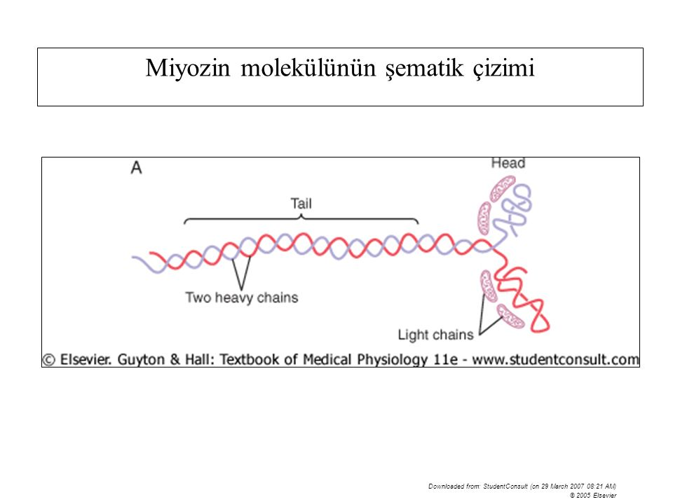 Downloaded from: StudentConsult (on 29 March 2007 08:21 AM) © 2005 Elsevier Miyozin molekülünün şematik çizimi