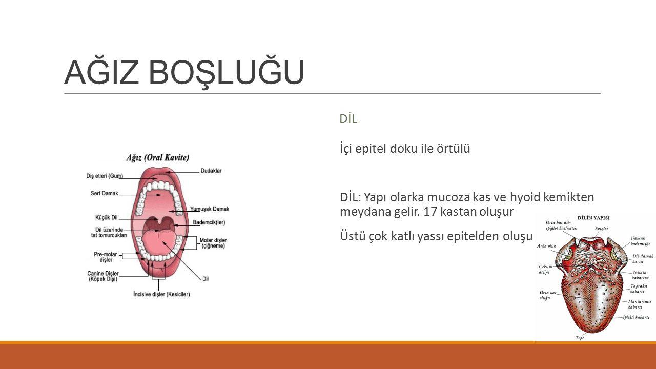 Diş DİŞ Diş minesi (Sunstantia adamantina): Diş taçlarını örten cansız bir yapıda.