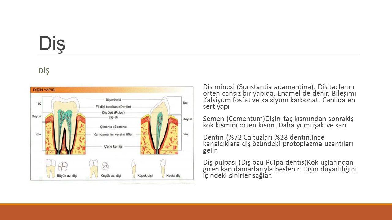 Diş tipleri Denstes incisivi: Kesici dişler Dentes caninus: Köpek dişi Dentes premolares: Küçük azı Dentes morales: Büyük azı dişi DİŞ FORMÜLÜ