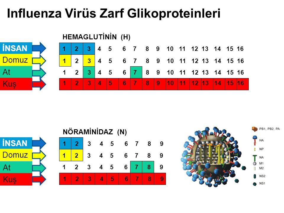 HEMAGLUTİNİN (H) 1 2 3 4 5 6 7 8 9 10 11 12 13 14 15 16 NÖRAMİNİDAZ (N) 1 2 3 4 5 6 7 8 9 İNSAN Domuz At Kuş Influenza Virüs Zarf Glikoproteinleri İNS