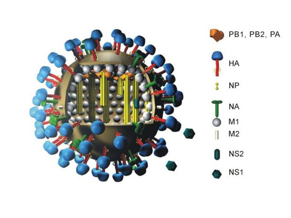 - Haemaglutinin (H): başaklar şeklinde sivri uzantılar : virüsün hücrelere bağlanmasını sağlar ve enfeksiyonu başlatan bölümdür - Neuraminidase (N): kümeler (salkım demetler) solunum yollarındaki musinin salgılanmasını engellemektedir H ve N nükleoprotein antijenlerine göre üçe ayrılır: 1.Influenza A 2.Influenza B 3.Influenza C