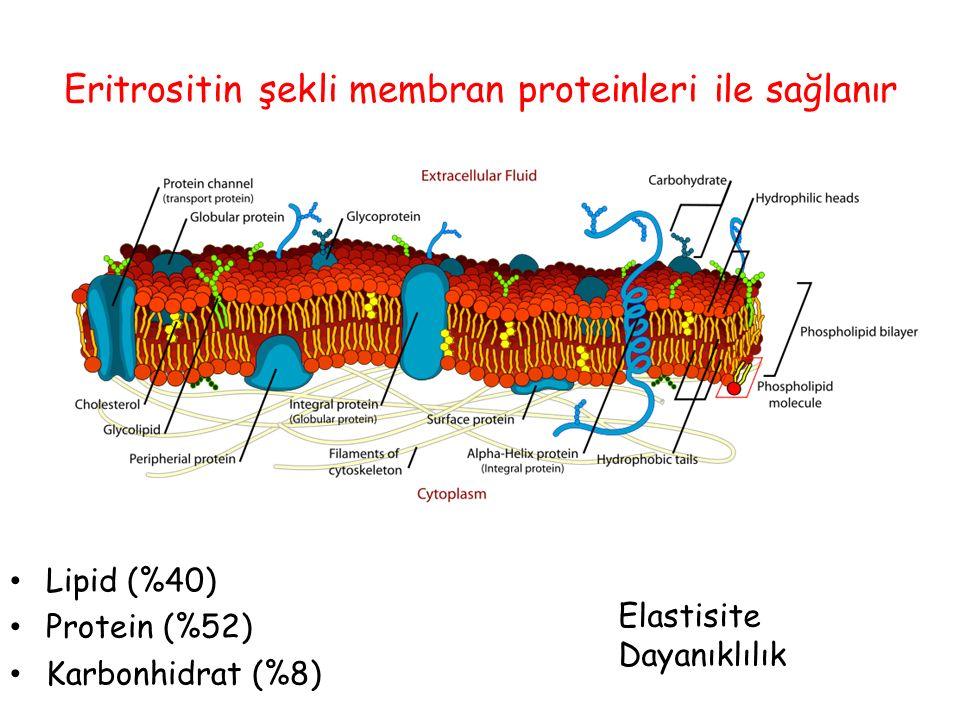 Eritrositin şekli membran proteinleri ile sağlanır Lipid (%40) Protein (%52) Karbonhidrat (%8) Elastisite Dayanıklılık